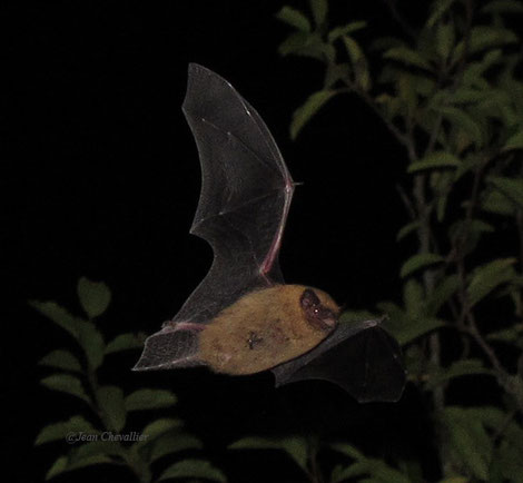 Pipistrelle commune (probablement), photo Jean Chevallier