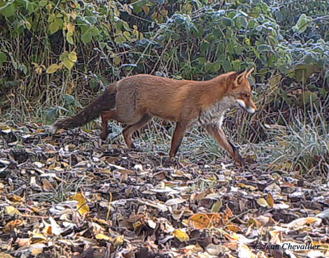Renard, piège-photo Jean Chevallier