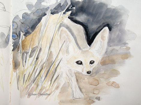 Fennec, Vulpes zerda, aquarelle Jean Chevallier