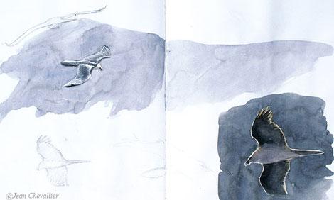 Gypaète barbu, aquarelles Jean Chevallier