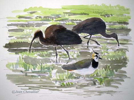Ibis, aquarelle Jean Chevallier