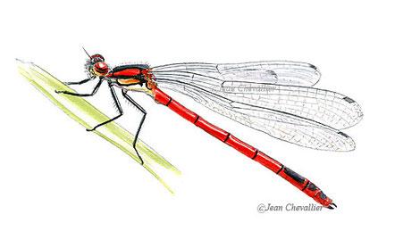Pyrrhosoma nymphula aquarelle Jean Chevallier