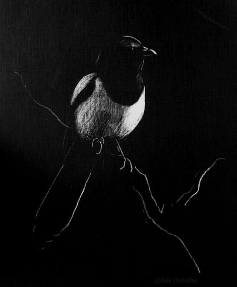Pie, pica pica, dessin au crayon blanc Jean Chevallier