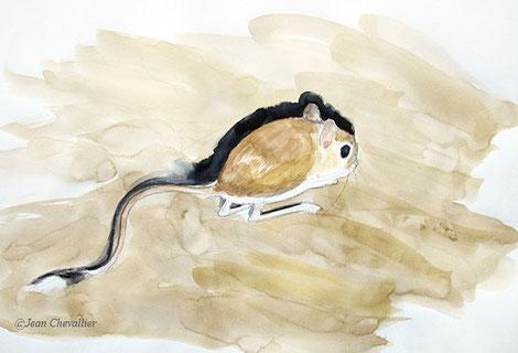 Gerboise (Jaculus jaculus) éclairée à la lampe; aquarelle Jean Chevallier