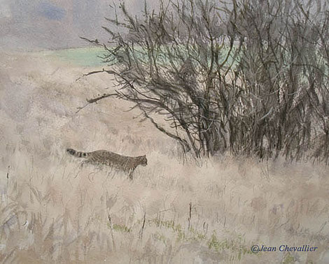 wild cat watercolor Jean Chevallier