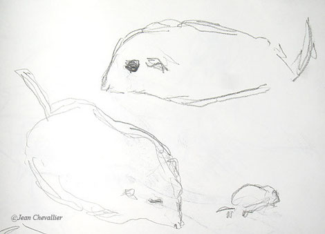 Pachyuromys ou gerbille à queue en massue, croquis Jean Chevallier