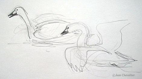 menace, cygne de Bewick, cygnus colombianus dessin Jean Chevallier