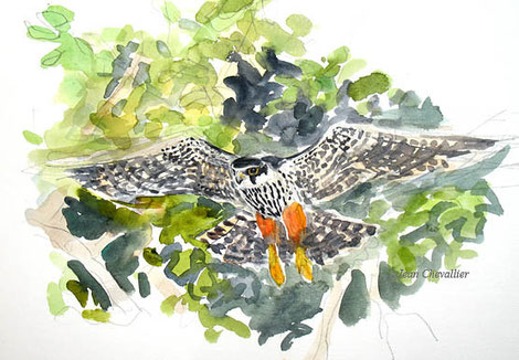 Faucon hobereau falco subbuteo, aquarelle Jean Chevallier