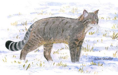 Chat sauvage Felis silvestris, mâle en hiver, aquarelle Jean Chevallier