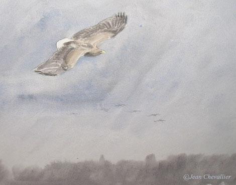 Pygargue (haliaetus albicilla) aquarelle Jean Chevallier