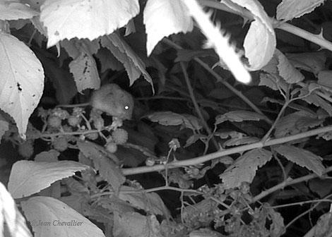 Rat des moissons , sur les mêmes ronces, photo Jean Chevallier
