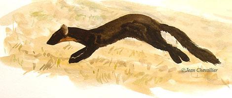 Martre (Martes martes) courant, aquarelle Jean Chevallier