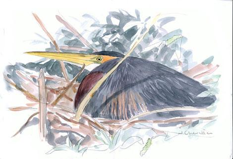 Héron pourpré Ardea purpurea sur son nid, aquarelle A3, avril 2018