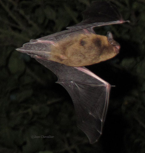 Pipistrelle de Nathusius (probablement), photo Jean Chevallier