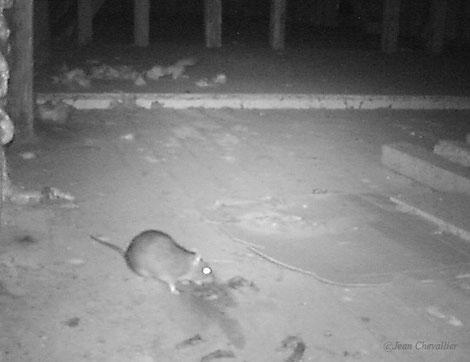 Surmulot, rattus norvegicus sur une crotte de fouine  Photo jean Chevallier