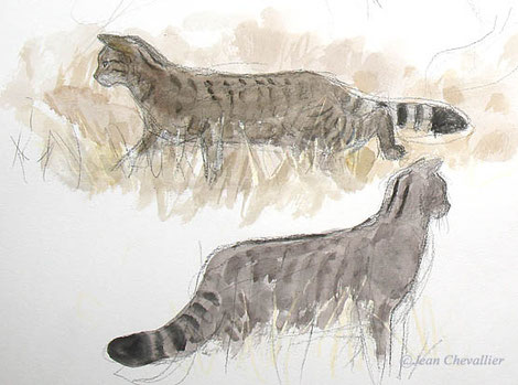 chat forestier croquis jean chevallier