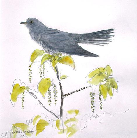 Coucou gris cuculus canorus aquarelle Jean Chevallier
