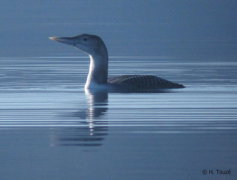 Plongeon à bec blanc Photo Hugo Touzé