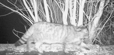 Chat forestier (ou chat sauvage) Felis silvestris. Photo Jean Chevallier
