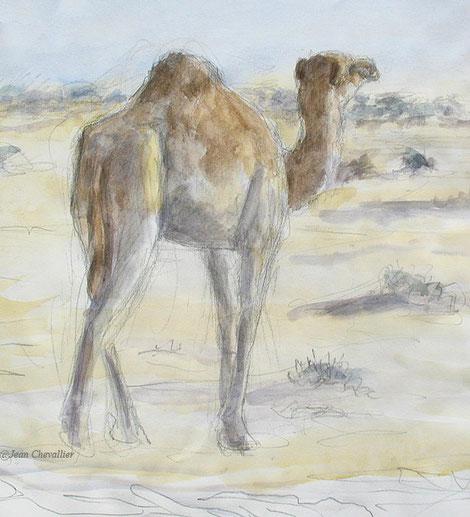 Chameau, Safia, aquarelle Jean Chevallier