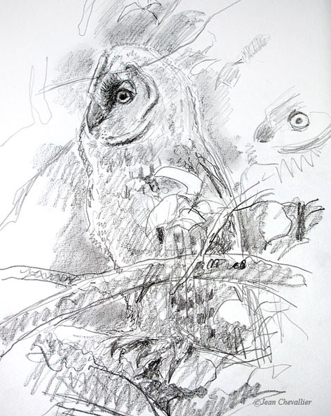 jeune moyen-duc,  asio otus, dessin Jean Chevallier