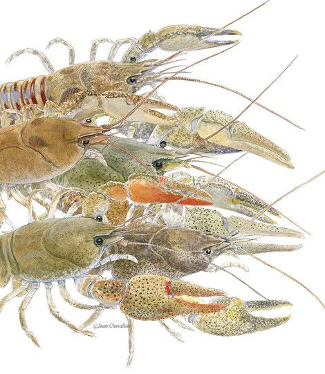 Ecrevisses européennes  (5 espèces), montage d'illustrations, Jean Chevallier