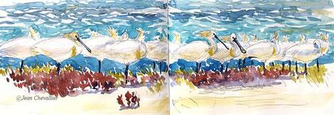 Spatules au repos à marée haute, aquarelle Jean Chevallier