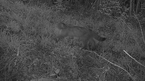 Chat forestier marchant, de nuit (soir) (30 im/s) .Image complète, extrait de vidéo. Le flou est visible.