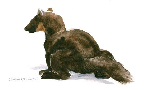 Martre (Martes martes) marquant, aquarelle Jean Chevallier