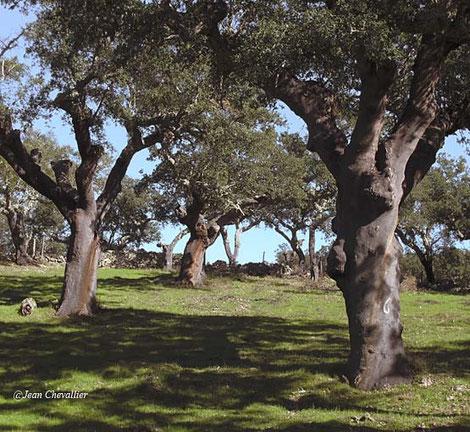 Vieux chênes-liège, paturés en dessous: la dehesa,