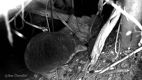 Crossope Neomys fodiens, au Stealthcam G42NG adapté, photo Jean Chevallier