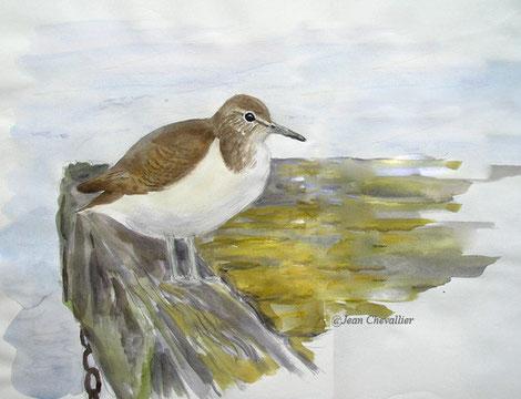 Chevalier guignette Actitis hypoleucos, aquarelle Jean Chevallier