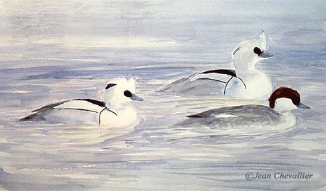Harles piettes (mergus albellus) aquarelle Jean Chevallier