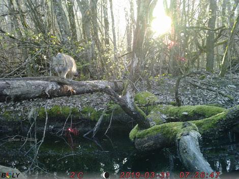 Chat forestier. Au Bolyguard en mode photo (rafale) 5700x4300px. Vue de la photo complète. Notez les taches rouges liées au reflet dans le filtre.