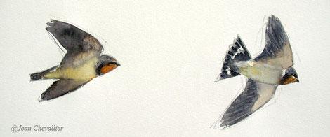 jeunes hirondelles rustiques (hirundo rustica) aquarelle Jean Chevallier