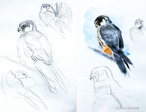 Faucon hobereau falco subbuteo, dessins Jean Chevallier