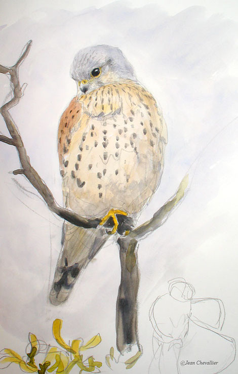 Faucon crécerelle falco tinunculus , aquarelle Jean Chevallier