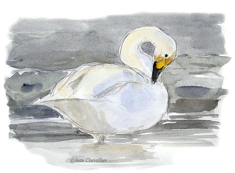 Cygne de Bewick, aquarelle Jean Chevallier
