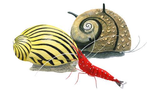 Neretina, crevette caridina, clithon. Illustrations Jean Chevallier