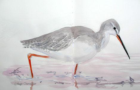 Chevalier arlequin Tringa nebularia , aquarelle Jean Chevallier