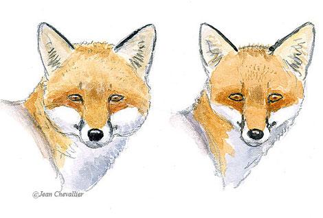 Vulpes vulpes, mâle, et femelle. Illustration Jean Chevallier