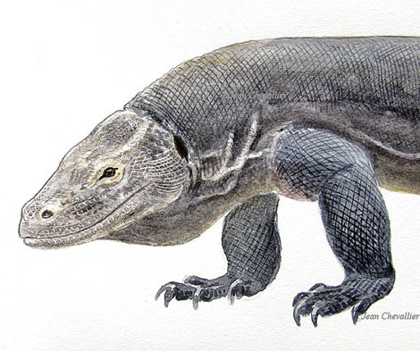 Varanus komodoensis illustration Jean Chevallier