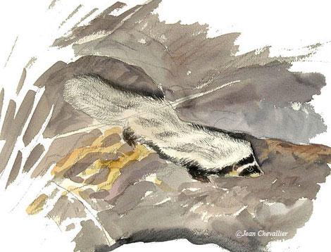 Zorille de Libye (ictonyx libyca), aquarelle Jean Chevallier
