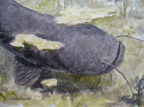 silure, aquarelle Jean Chevallier (détail)