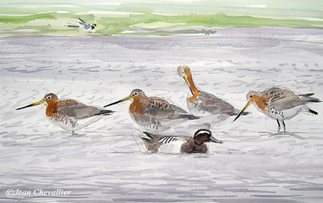 Barges à queue noire (Limosa limosa) aquarelle jean Chevallier