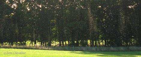 Colonnes d'insectes au dessus d'un pré