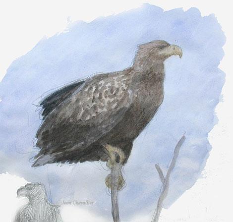 Pygargue Haliaeetus albicilla aquarelle Jean Chevallier