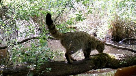 Chat forestier, de jour. Extrait de vidéo. Image complète et détail ci-dessous.