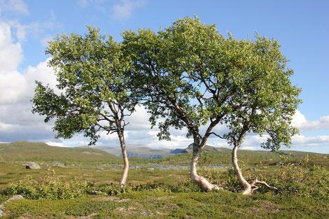 Drei Birken in Schweden