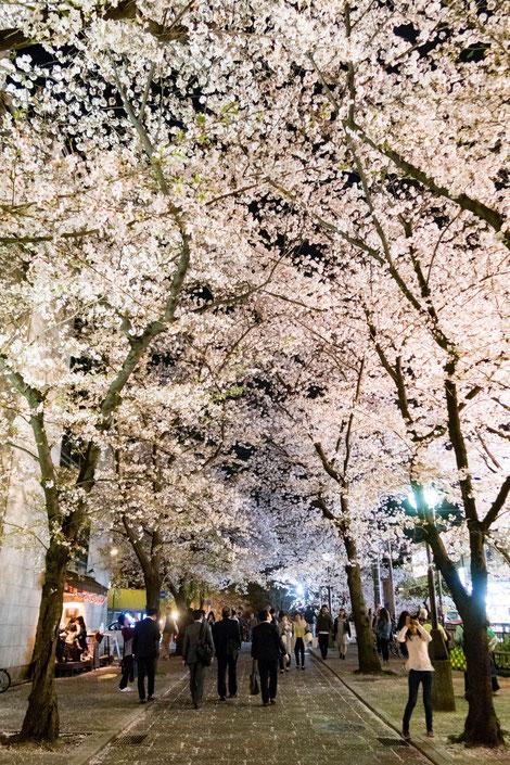 京都・祇園白川ライトアップの桜